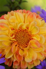 Preview iPhone wallpaper Orange dahlia and blue chrysanthemum