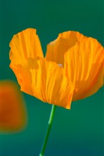 Preview iPhone wallpaper Orange poppy flowers, stem