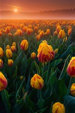 Preview iPhone wallpaper Orange tulips fields, sunrise, fog