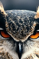 Owl close-up, front view, eyes