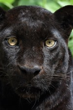 Preview iPhone wallpaper Panther, black leopard, face, front view