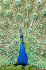 Preview iPhone wallpaper Peacock, open tail, beautiful feathers