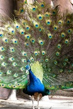 Preview iPhone wallpaper Peacock, tail, green feathers