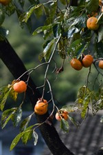 Preview iPhone wallpaper Persimmon tree, fruit