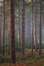Pine trees, forest, fog