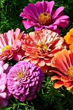 Preview iPhone wallpaper Pink and orange zinnia flowers