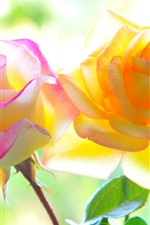 Preview iPhone wallpaper Pink and yellow roses, backlight