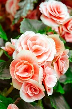 Preview iPhone wallpaper Pink begonia, flowers