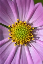 Preview iPhone wallpaper Pink cosmos flower macro photography