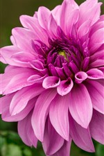Preview iPhone wallpaper Pink dahlia, water droplets