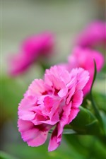Preview iPhone wallpaper Pink flowers, carnations, hazy background
