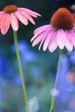 iPhone壁紙のプレビュー ピンクの花、エキナセア、茎