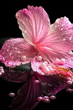 Preview iPhone wallpaper Pink hibiscus, petals, water droplets, stones, SPA
