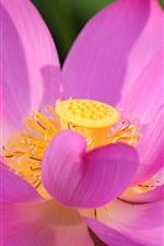 미리보기 iPhone 배경 화면 핑크 로터스 근접, 꽃, 꽃잎, 햇빛