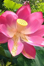 Preview iPhone wallpaper Pink lotus, petals, pistil, leaves, summer