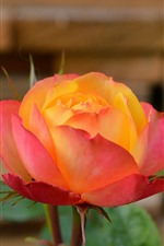 Preview iPhone wallpaper Pink orange color petals roses