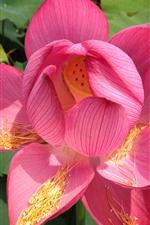iPhone fondos de pantalla Pétalos de rosa, flor de primer plano, loto