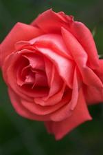 Preview iPhone wallpaper Pink rose close-up, petals, flower