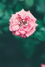 Preview iPhone wallpaper Pink roses, garden flowers, hazy