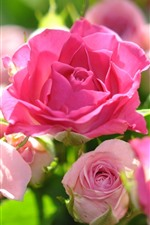 Preview iPhone wallpaper Pink roses, sunlight