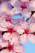 미리보기 iPhone 배경 화면 핑크 사쿠라 꽃, 봄, 나뭇 가지