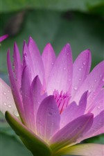 Preview iPhone wallpaper Pink water lily, petals, water droplets
