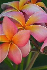 Preview iPhone wallpaper Plumeria, beautiful pink flowers
