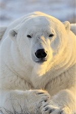 Polar bear, front view, rest, snow