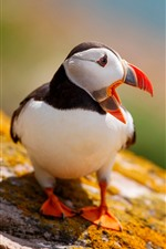 Preview iPhone wallpaper Puffin, bird, look back