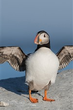 Preview iPhone wallpaper Puffin open wings, bird
