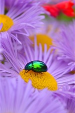 Preview iPhone wallpaper Purple aster flowers, beetle