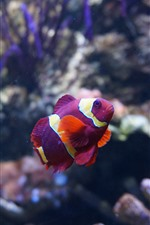 Purple clownfish