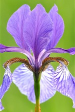 미리보기 iPhone 배경 화면 자주색 꽃 근접, 홍채, 꽃잎