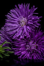 Purple flowers, asters, black background