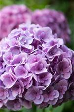 Preview iPhone wallpaper Purple hydrangea, garden flowers