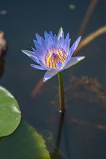 Preview iPhone wallpaper Purple petals water lily, pond, leaves