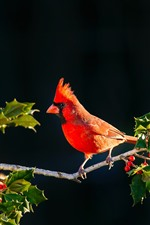 Preview iPhone wallpaper Red cardinal bird, twigs, red berries