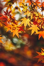 Preview iPhone wallpaper Red maple leaves, yellow, autumn