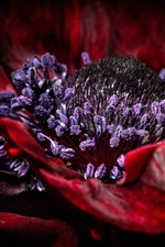 Preview iPhone wallpaper Red poppy flower macro photography, pistil