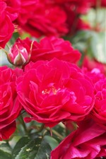 Preview iPhone wallpaper Red roses, flowers close-up, garden