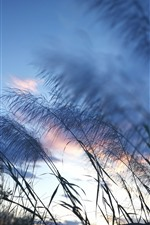 Preview iPhone wallpaper Reed, grass, sky, dusk