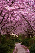 Preview iPhone wallpaper Sakura flowering, trees, path, garden, spring