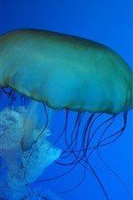 Preview iPhone wallpaper Sea animal, jellyfish, blue background
