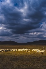 Sheep, grassland, clouds, dusk
