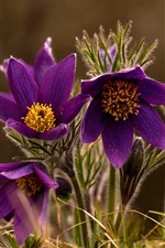 Sleep-grass, purple flowers