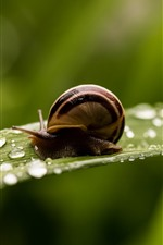 Preview iPhone wallpaper Snail, green leaf, water droplets