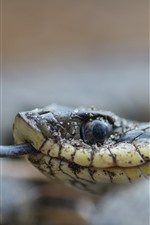 Preview iPhone wallpaper Snake, head, eye, tongue