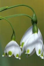 Preview iPhone wallpaper Snowdrops, white flowers, bokeh