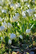 Preview iPhone wallpaper Spring flowers, white snowdrops, sunlight