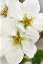 Preview iPhone wallpaper Spring, white flowers bloom